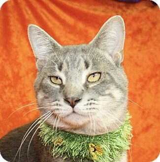 Domestic Shorthair Cat for adoption in Jackson, Michigan - Simon