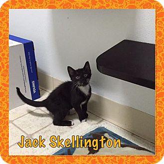 Domestic Shorthair Kitten for adoption in Bryan, Ohio - jack skellington