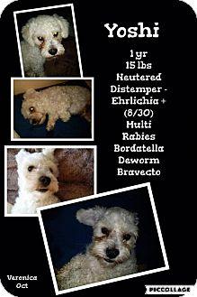 Poodle (Miniature) Mix Dog for adoption in Denver, Colorado - Yoshi