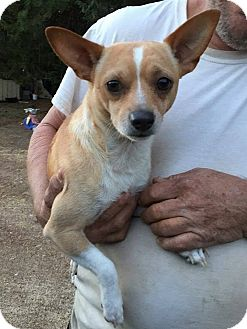 Chihuahua Dog for adoption in Greensboro, North Carolina - HAUS