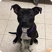 Adopt A Pet :: Tempest- Ohio - Fulton, MO