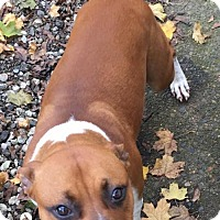 Boxer/Pit Bull Terrier Mix Dog for adoption in Vancouver, Washington - Sunny