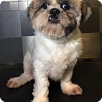 Adopt A Pet :: Bruce Lee - McKinney, TX