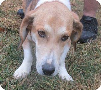 Basset Hound Mix Dog for adoption in Germantown, Maryland - Lola
