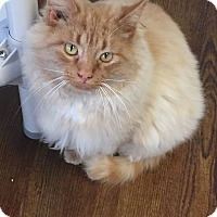 Adopt A Pet :: Mau Mau - Greensburg, PA