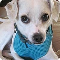 Adopt A Pet :: Layla - Carlsbad, CA