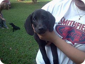 Labrador Retriever/Hound (Unknown Type) Mix Puppy for adoption in West Bridgewater, Massachusetts - Brewster