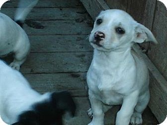 Jack Russell Terrier Mix Puppy for adoption in Atascadero, California - Cotton