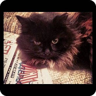 Persian Cat for adoption in Bensalem, Pennsylvania - Wish