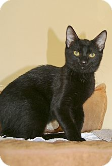 American Shorthair Cat for adoption in Englewood, Florida - Woody
