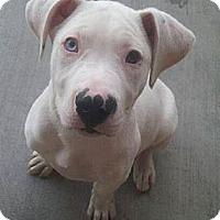 Adopt A Pet :: Zeus - Scottsdale, AZ