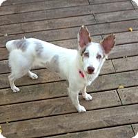 Adopt A Pet :: Roxy - Minneapolis, MN