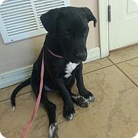 Adopt A Pet :: Onyx - Mesa, AZ