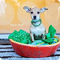 Adopt A Pet :: Sassy Skye - Shawnee Mission, KS