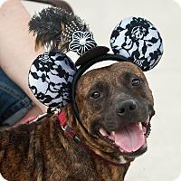 Adopt A Pet :: Sugar - Holmes Beach, FL