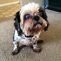 Shih Tzu Mix Dog for adoption in Malabar, Florida - Maggie