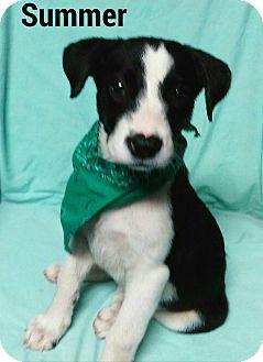 Border Collie/Labrador Retriever Mix Puppy for adoption in Burlington, Vermont - Summer