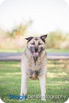 Anatolian Shepherd/German Shepherd Dog Mix Dog for adoption in Little, Rock, Arkansas - TEXAS, DALLAS; **URGENT NEEDS FOSTER** 'OPAL'