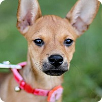 Chihuahua Mix Puppy for adoption in San Antonio, Texas - MYRTLE