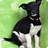 Adopt A Pet :: YARROW - Westminster, CO