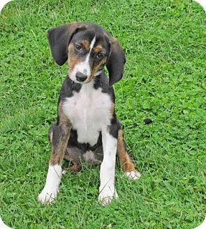 Hound (Unknown Type) Mix Puppy for adoption in Woodstock, Illinois - Saia