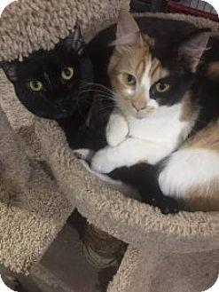 Domestic Mediumhair Cat for adoption in Wasilla, Alaska - Ella