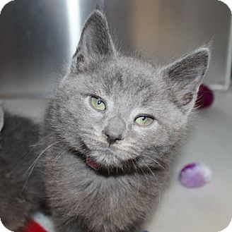 Domestic Shorthair Kitten for adoption in Ellicott City, Maryland - 23147 - Mr Gray