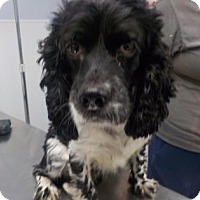 Cocker Spaniel Mix Dog for adoption in New Castle, Delaware - Hershey