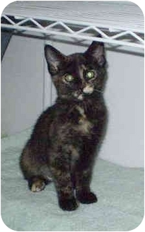 Domestic Shorthair Kitten for adoption in Boston, Massachusetts - Missy