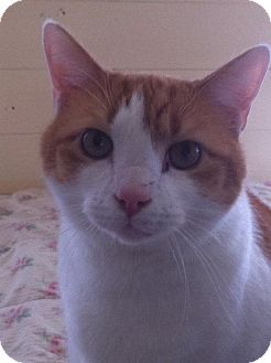 Domestic Shorthair Cat for adoption in Arlington/Ft Worth, Texas - Marty