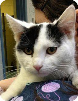 Domestic Shorthair Cat for adoption in Richboro, Pennsylvania - Twiggy