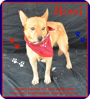 Corgi/Finnish Spitz Mix Dog for adoption in Plano, Texas - Rossi