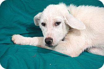 Great Pyrenees/Husky Mix Puppy for adoption in St. Louis, Missouri - Olivia Great Huskanees