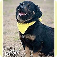 Adopt A Pet :: Gus - Albany, NY