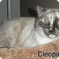 Adopt A Pet :: Cleo - Mesa, AZ