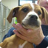 Adopt A Pet :: Comet - Ludington, MI