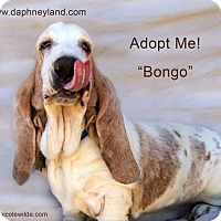 Adopt A Pet :: Bongo - Acton, CA