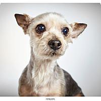 Adopt A Pet :: Penelope - New York, NY