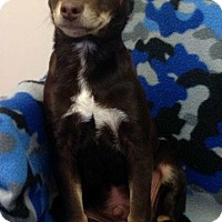 Adopt A Pet :: Chase - Homewood, AL
