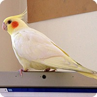 Adopt A Pet :: Tino - Sudbury, MA
