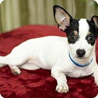 Adopt A Pet :: Pearl Nanette pup w/video-N - Alvin, TX