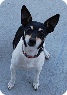 Rat Terrier Dog for adoption in Council Bluffs, Iowa - Rico (Jazzi)
