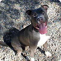 Adopt A Pet :: RIVA - Westminster, CO