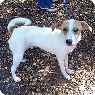 Jack Russell Terrier Mix Dog for adoption in Danbury, Connecticut - Jolly