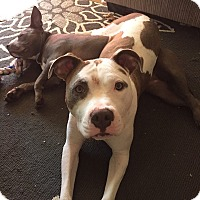 Adopt A Pet :: Atlas **Courtesy Cupid** - West Allis, WI