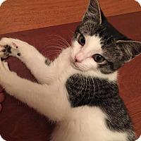 Domestic Shorthair Kitten for adoption in New York, New York - Pom Pom