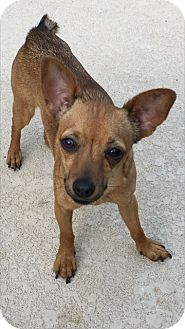Chihuahua Mix Dog for adoption in Las Vegas, Nevada - Kalli