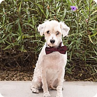 Schnauzer (Miniature) Dog for adoption in Chandler, Arizona - Mozart