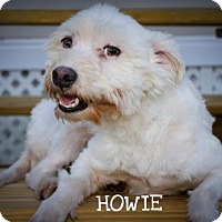 Westie, West Highland White Terrier/Coton de Tulear Mix Dog for adoption in BROOKSVILLE, Florida - HOWIE