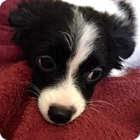 Chihuahua Mix Puppy for adoption in Garland, Texas - Parker